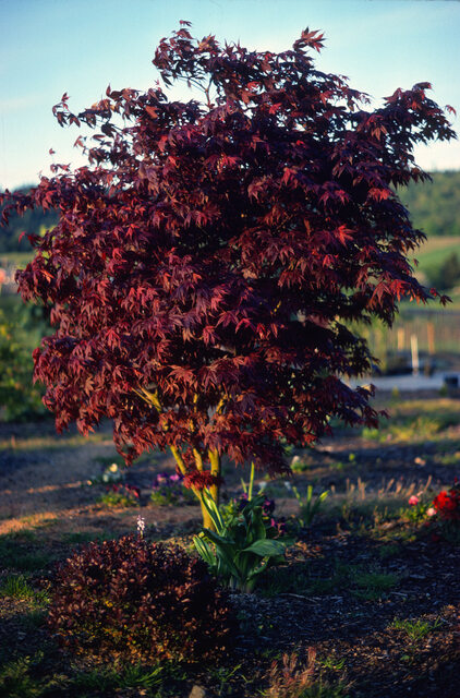 Anese Maples Archives Canadale Garden Centre St Thomas